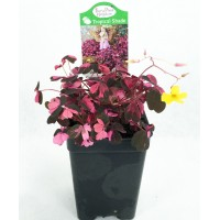 "Plum Crazy Shamrock - Oxalis - 2.5"" Pot - Fairy Garden Plant or House Plant"