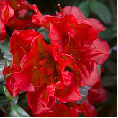 Encore Azalea Autumn Fire, True Red Semi-Double Blooms   554826826